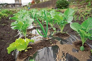 キャベツにレタスとネギを一緒に植えて、害虫の発生を防ぐコンパニオンプランツ