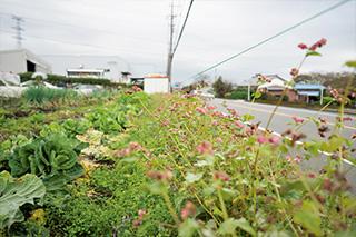 畑の道路沿いに植えてある赤ソバ。実はとらずに刈り取り、そのまま土にすき込んで、土壌改良として使う