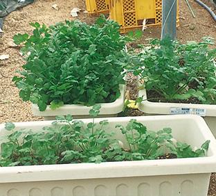 こんなふうにしてプランターで野菜を作る。これは、コリアンダー(パクチー)の写真