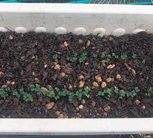 プランターの中で芽を出した小松菜。本葉が出始めたら、順次間引きをする