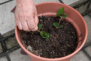 取材のこの日は、ヒペリカムを挿し木にした。挿し木にする時は、水分の蒸散を防ぐために葉の一部をカットする
