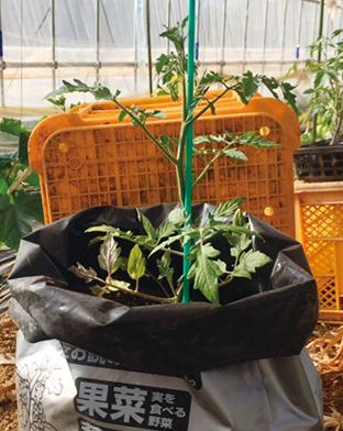 プランター代わりに、培養土が入った袋をそのまま使って、ミニトマトを栽培することもできる