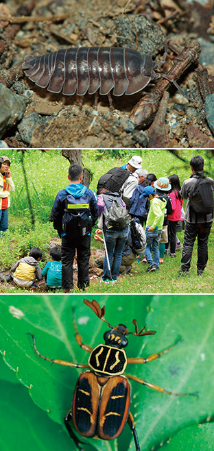 上:平成29年、山梨県下では養老の森で初めて生息が確認されたハナダカダンゴムシ(撮影:皆越ようせい)/中:昆虫観察会での一コマ。昆虫を探し、石の下や草の陰を覗き込む子供たち/下:養老の森にいる、大柄の鮮やかな模様が特徴のオオトラフコガネのオス(撮影:吉谷昭憲)