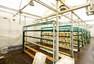 キクラゲを栽培しているハウスの内部。室内は、熱水で常時20~25度に保たれている