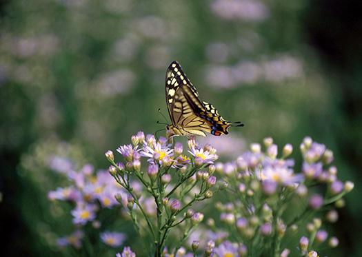 キアゲハ 4月 花の上のファッションショー  花に来るチョウ 「チョウは野の花に負けず劣らず美しい。虫を誘うために美しく着飾った花々の上を、軽快に舞う姿は、お花畑の主役と言っていいだろう。チョウたちの着飾った、さまざまな紋様や色彩は、仲間を見分ける合図にもなる」今森光彦『昆虫記』(福音館書店)より。以下同じ。