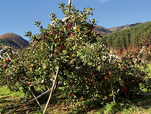 秋になると、りんご畑には、赤く色づいたふじの甘い香りが漂う(写真提供:野沢貴広・生長の家長野教区教化部長)