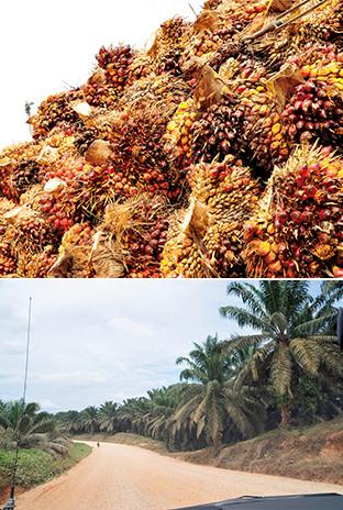 上:アブラヤシの果実/下:地平線まで広がるアブラヤシのプランテーション。かつて生物多様性の森だった場所につくられている