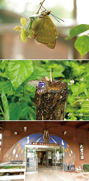 上:羽化したばかりのオオムラサキ。6月下旬~7月下旬にかけて見られる/中:蜜を吸うオオムラサキ。館内の ひばりうむ(生態観察施設)で/下:「自然とオオムラサキに親しむ会」が運営する北杜市オオムラサキセンター