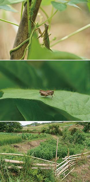 上/中:畑には、カマキリなど、いろんな種類の虫たちが息づいている/下:さまざまな植物と野菜が共生している「結いまーる自然農園」の畑