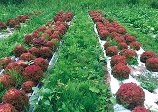 通路に雑草を生えさせた、サニーレタスの草生栽培