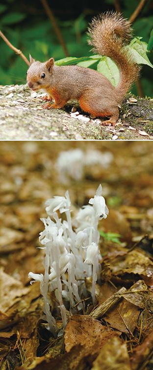 上:樹海に棲息するニホンリス(富士山エコネット提供)/下:葉緑素を持たない植物、銀竜草