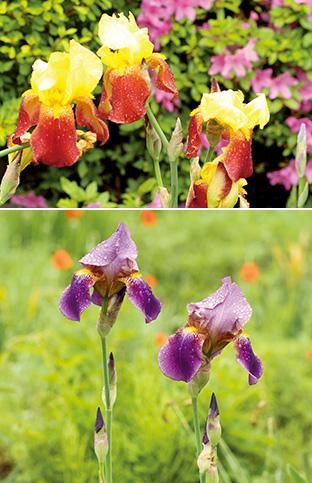 上:赤と黄色の取り合わせが華やかなジャーマンアイリス/下:紫が目にまぶしい2輪の菖蒲