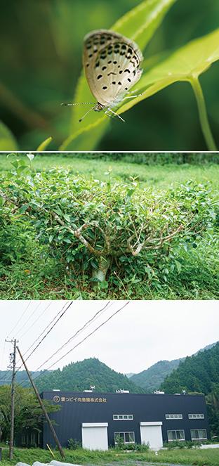 上:お茶の葉の上で羽を休めるヤマトシジミ。茶畑には、植物や昆虫が共生する環境がある/中:大地にしっかり根を張り、たくましく育ったお茶の木/下:葉っピイ向島園の工場
