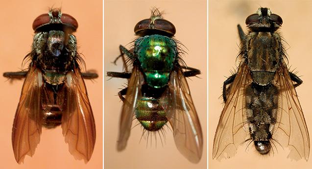 倉橋さんが発見したハエ。左:ミドリバエの新種(マレーシア・ボルネオ島)/中:ミドリバエの新種(タイ北部)/右:ニクバエ科の新種、キサラズニクバエ(千葉県木更津)=倉橋さん提供