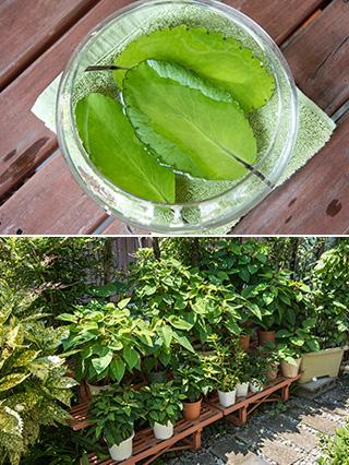 上:マザーリーフの葉っぱは、水に浮かべておくと葉の脇から新しい芽が出てくる/下:庭のあちこちに挿し木で増やした植物の鉢が所狭しと並んでいる。「ポインセチアは11月になると家の中に入れ、葉が紅くなるのを楽しんでいます」