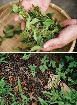 上:茶葉を日向で発酵させ、無農薬の国産烏龍茶を試作している/下:さまざまな虫が息づき、植生も豊かな畑の土はとてもやわらかい