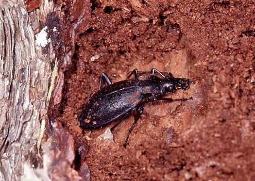 クロナガオサムシ 12・1・2月 冬空の下で虫の冬ごし 「真冬の間、虫たちは思い思いの場所で、深い眠りについている。寒い冬空の下で、みんなどんな夢をみているのだろうか。長い冬はまだまだ続く」