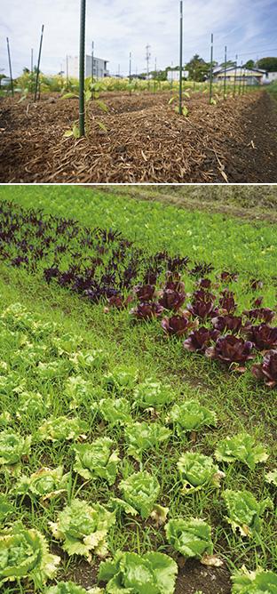 上:日を浴びて、力強く伸び始めたイタリアンパプリカの苗/下:レタスなどの野菜だけではない、さまざまな植物と生物が共存、共栄している農園
