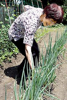 庭の畑でネギを収穫。「家の野菜は無農薬だから、安心して食べられます」