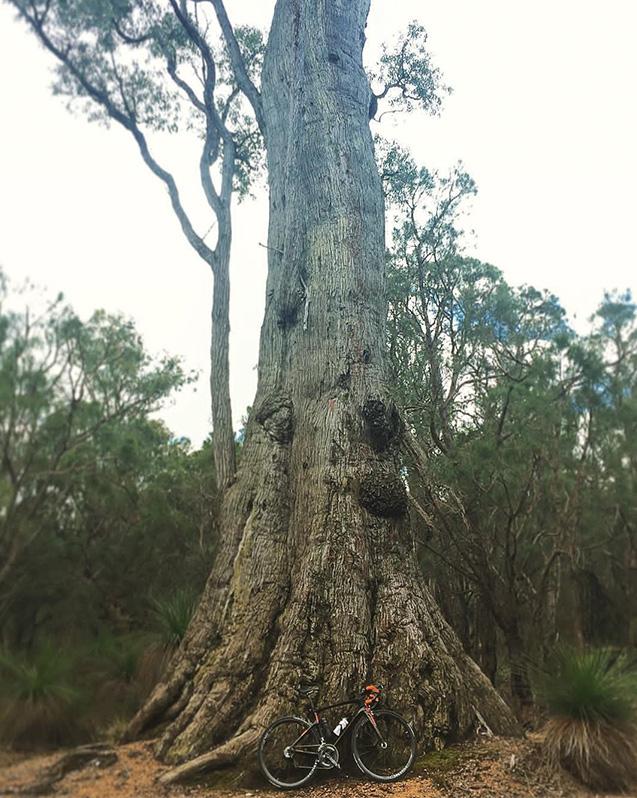 オーストラリアで出合った大木。このように、堂々と健康的に生きたいものです(写真は筆者提供)