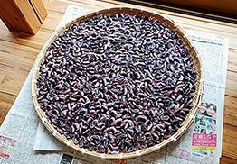 収穫した花豆を干す。花豆は冷涼な高地ならではの作物