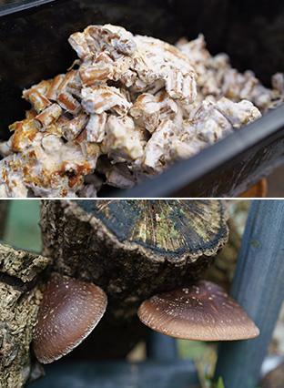 上:菌を染み込ませた木片。これをほだ木に打ち込む/下:植菌したほだ木から生えたシイタケ