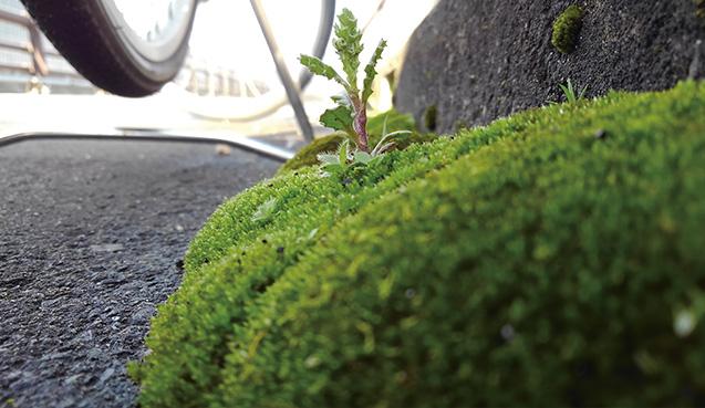 ギンゴケと一緒に生える草