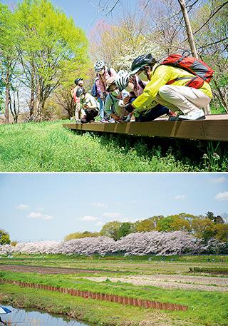 上:見沼自然公園内の湿地を横切る木製の遊歩道沿いには、春の芽吹きが一杯/下:桜回廊を一列になり、快調にペダルを漕いで進む。手前に広がるのが見沼田んぼ