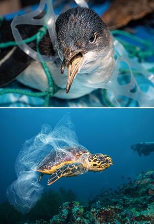 プラスチックのネットや袋が海洋生物に絡まり、その生存に大きな影響を与える例が数多く報告されている(写真:iStock)